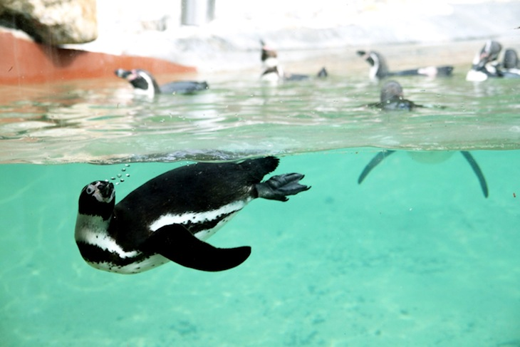 Alimentação dos pinguins - Zoo Santo Inácio
