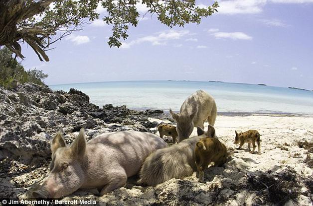 A ilha dos porcos nadadores nas Bahamas