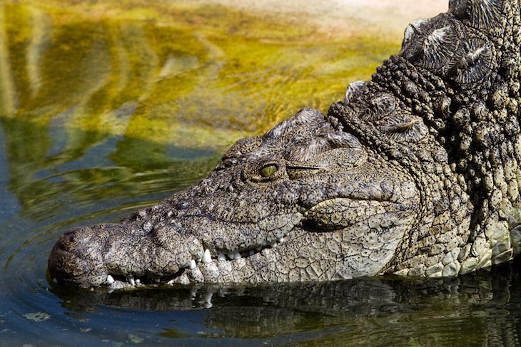Crocodilo - Foto de António Guimarães