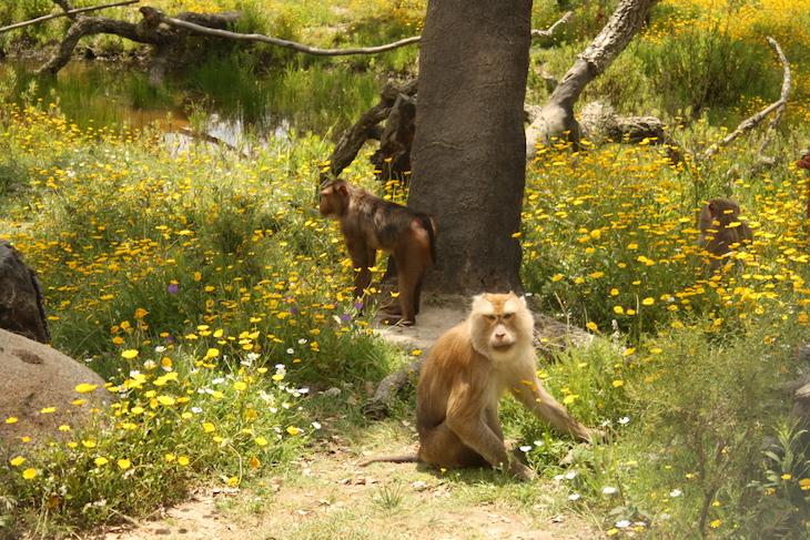 Macacos rabo de porco