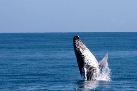 Baleias em Samaná © DR Turismo da República Dominicana