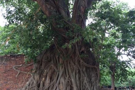 Árvore com Buda, Wat Maha That, Ayutthaya, Tailândia © Viaje Comigo
