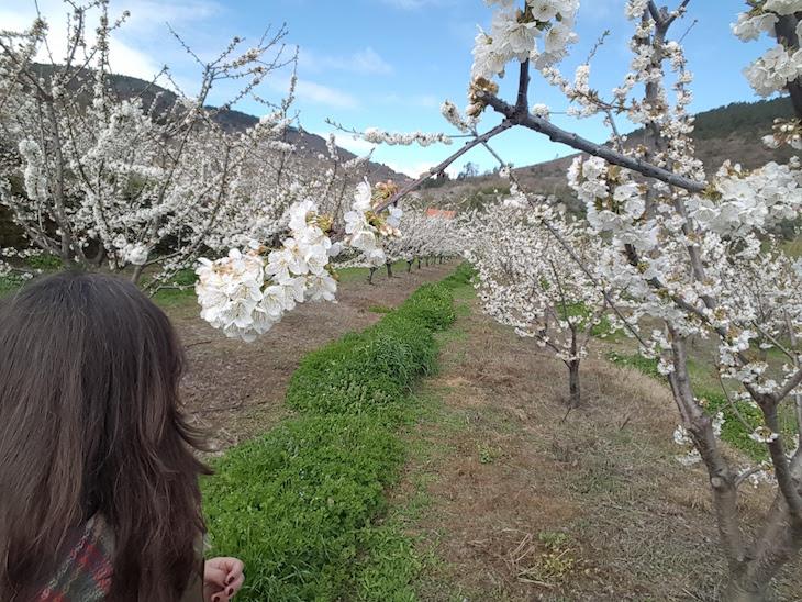 Cerejeiras em flor - Fundão © Viaje Comigo