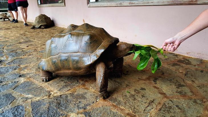 Dar de comer a tartarugas - La Vanille Nature Park, Ilhas Maurícias
