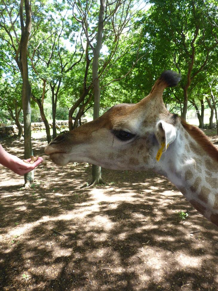 Alimentar as girafas - Casela World of Adventures - Ilhas Maurícias © Viaje Comigo