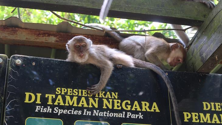 Macacos de Taman Negara - Malásia © Viaje Comigo