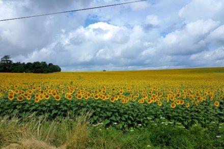 Girassóis no Vale do Loire © Viaje Comigo
