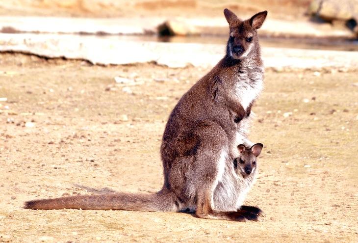 Canguru no Zoo Santo Inácio