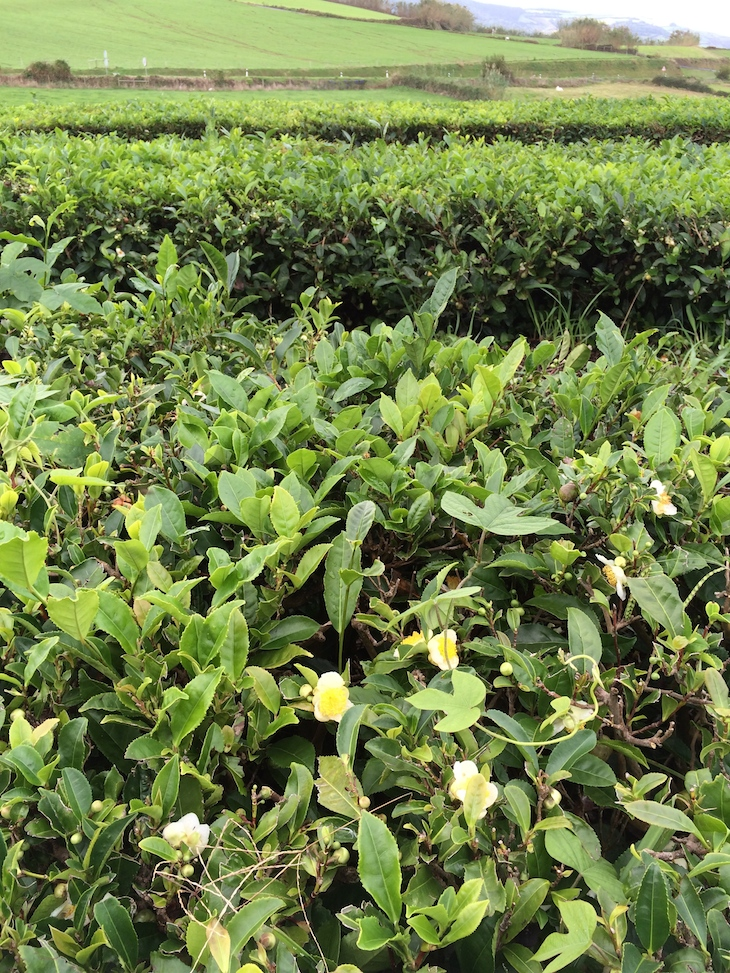 Chá Gorreana: Camellia Sinensis