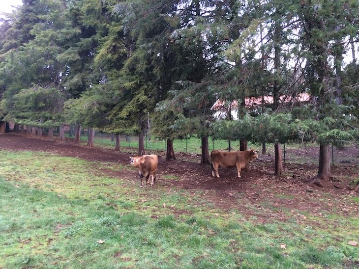 Vacas no Parque Biológico de Vinhais