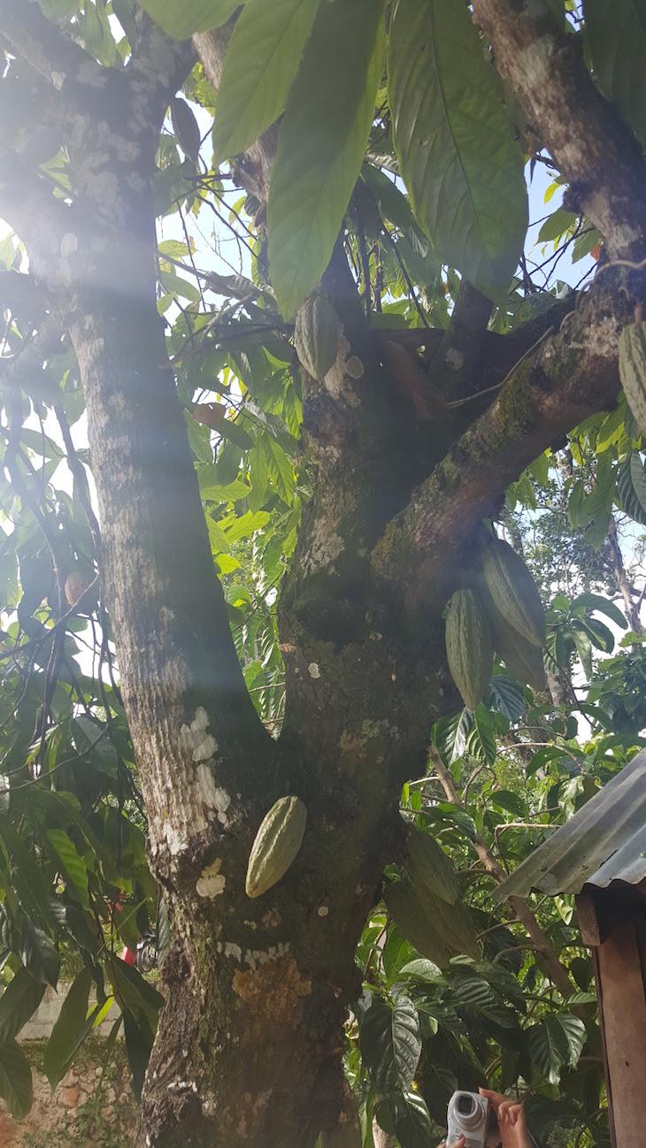 Árvore do cacau - República Dominicana © Viaje Comigo