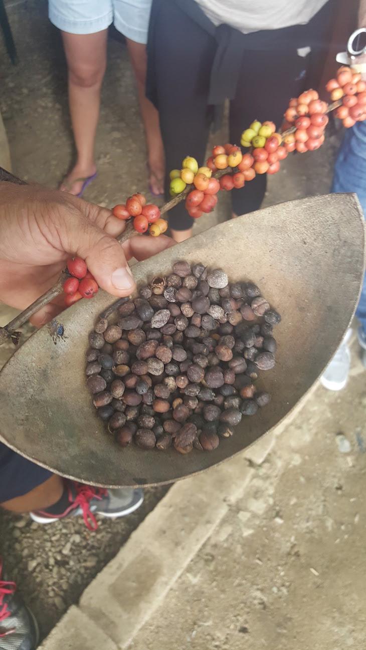 Planta do café - República Dominicana © Viaje Comigo