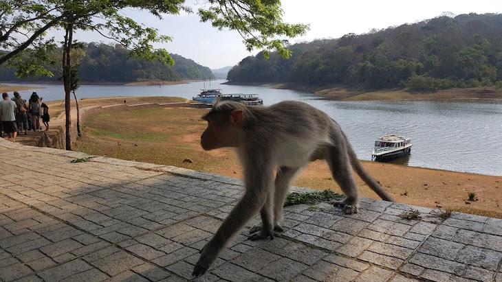 Macaco na Periyar Tiger Reserve, Kerala © Viaje Comigo