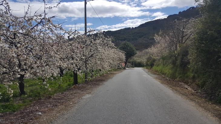 Estrada com cerejeiras em flor - Fundão © Viaje Comigo