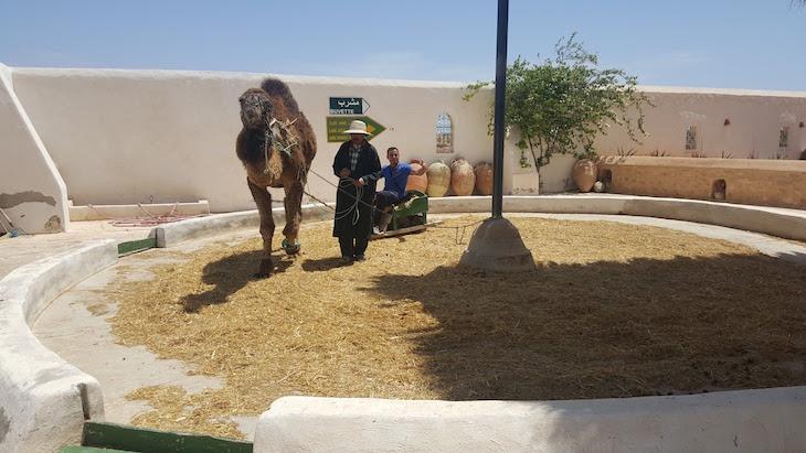 Dromedário no Museu de Guellala, Djerba, Tunísia © Viaje Comigo