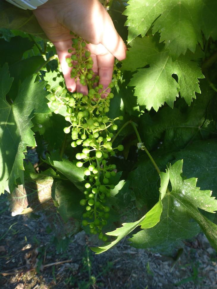 Uvas a crescerem na Quinta da Roêda, Pinhão © Viaje Comigo