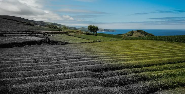 Plantação de Chá Gorreana (um constraste entre o passado e o presente numa só foto) Foto: ©Ines Marques