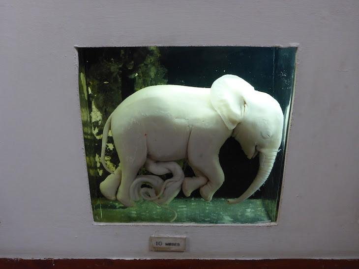 Feto de elefante - Museu de História Natural de Maputo © Viaje Comigo