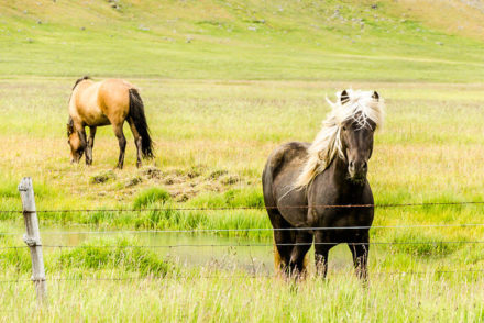 Cavalos na Islândia © Fotoviajar