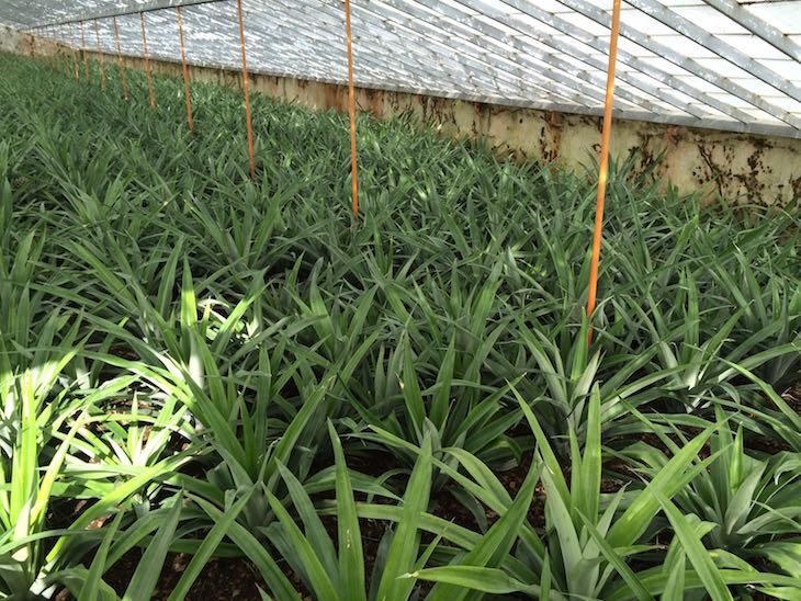 Plantação dos ananases  - Açores © Viaje Comigo