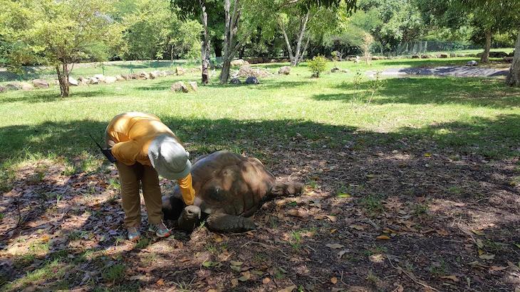 Massagem à tartaruga - Casela World of Adventures - Ilhas Maurícias © Viaje Comigo