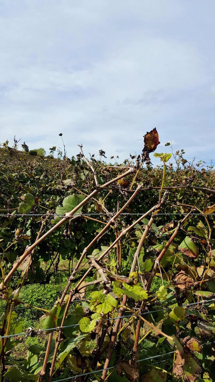 Vinhas da Miolo em Bento Gonçalves, Rio Grande do Sul, Brasil © Viaje Comigo
