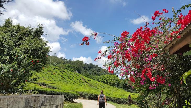Bharat Tea Estate - Campos de Chá em Cameron Highlands - Malásia © Viaje Comigo