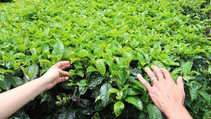 Folhas de Chá em Cameron Highlands - Malásia © Viaje Comigo