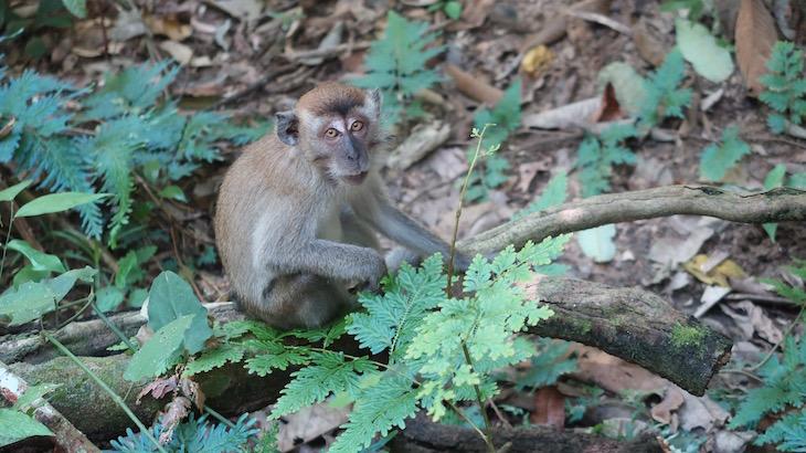 Macacos de Taman Negara - Malásia © Viaje Comigo1