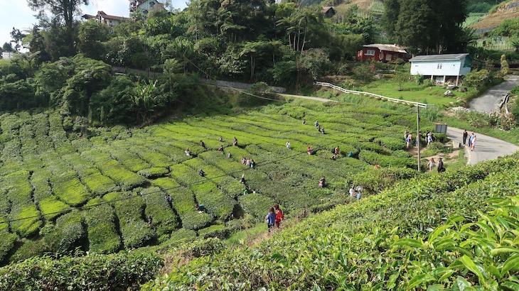 Campos de chá em Cameron Highlands - Malásia © Viaje Comigo