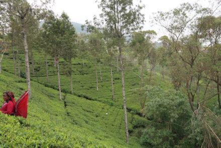 Nos campos de chá da Pedro Estate - Nuwara Eliya - Sri Lanka © Viaje Comigo
