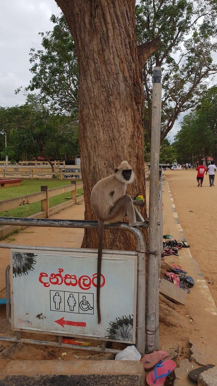 Macacos frente aos templos de Kataragama, Sri Lanka © Viaje Comigo
