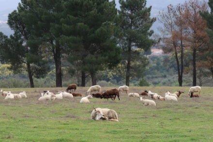 Ovelhas em Linhares da Beira - Portugal © Viaje Comigo
