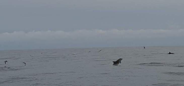 Golfinhos - Terceira - Açores © Viaje Comigo