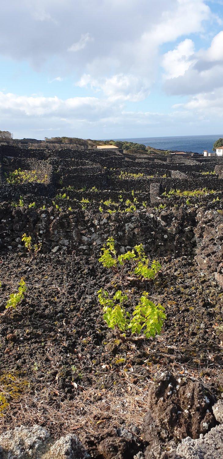 Vinhas no Pico - Açores © Viaje Comigo