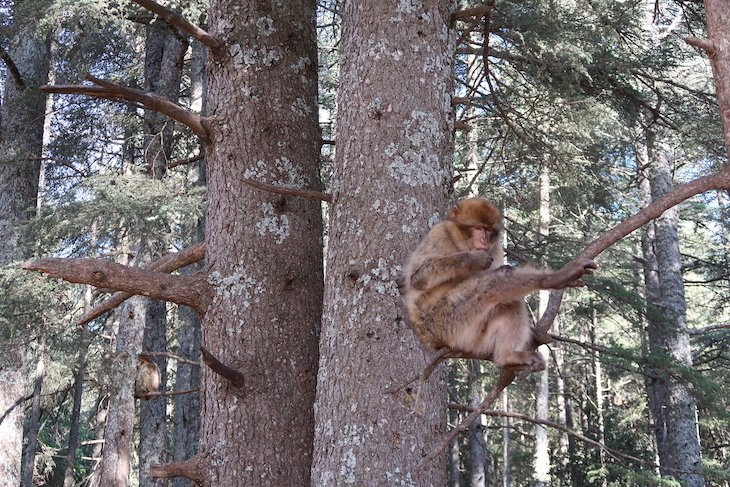 Macacos no Parque Nacional de Ifrane - Marrocos © Viaje Comigo