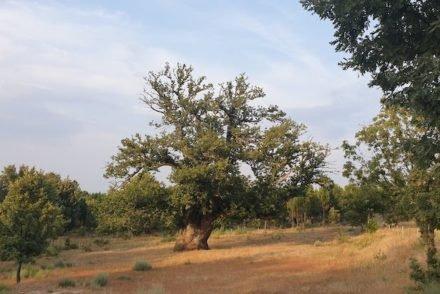 Castanheiro gigante - Guarda - Portugal © Viaje Comigo