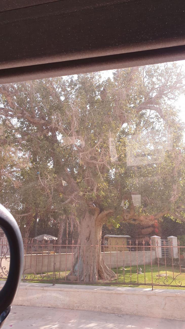 Árvore de Zaqueu - Jericó - Palestina © Viaje Comigo
