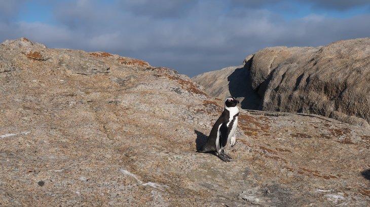 Pinguins africanos - Boulders Beach - África do Sul © Viaje Comigo