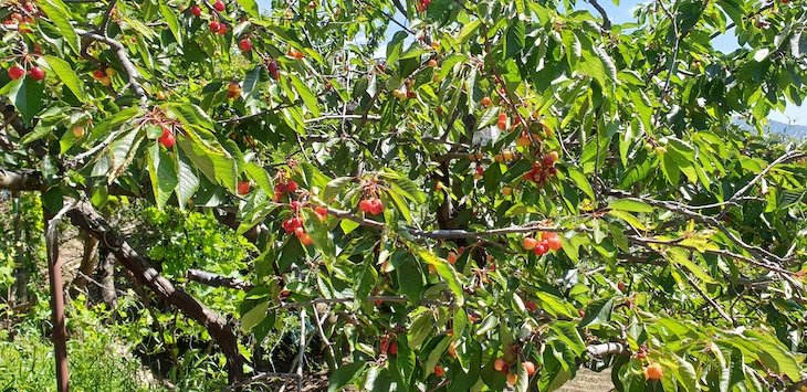 Cerejas no caminho - Rotas da Gardunha © Viaje Comigo