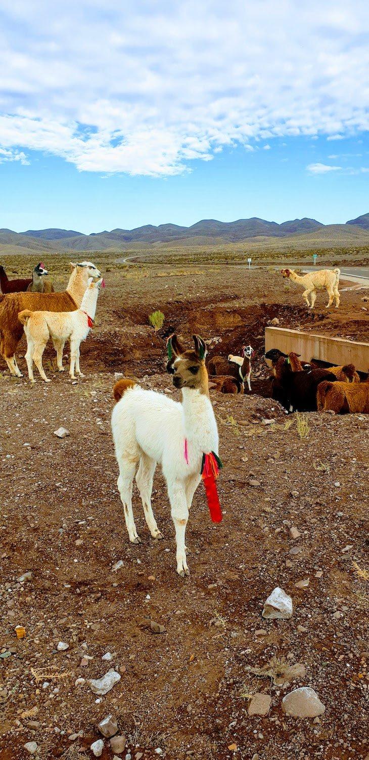 Lamas no Tour do Vale do Arco-Íris - Deserto no Atacama - Chile © Viaje Comigo