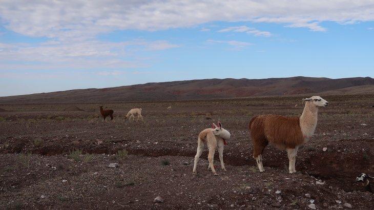 Guanacos no Tour do Vale do Arco-Íris - Deserto no Atacama - Chile © Viaje Comigo