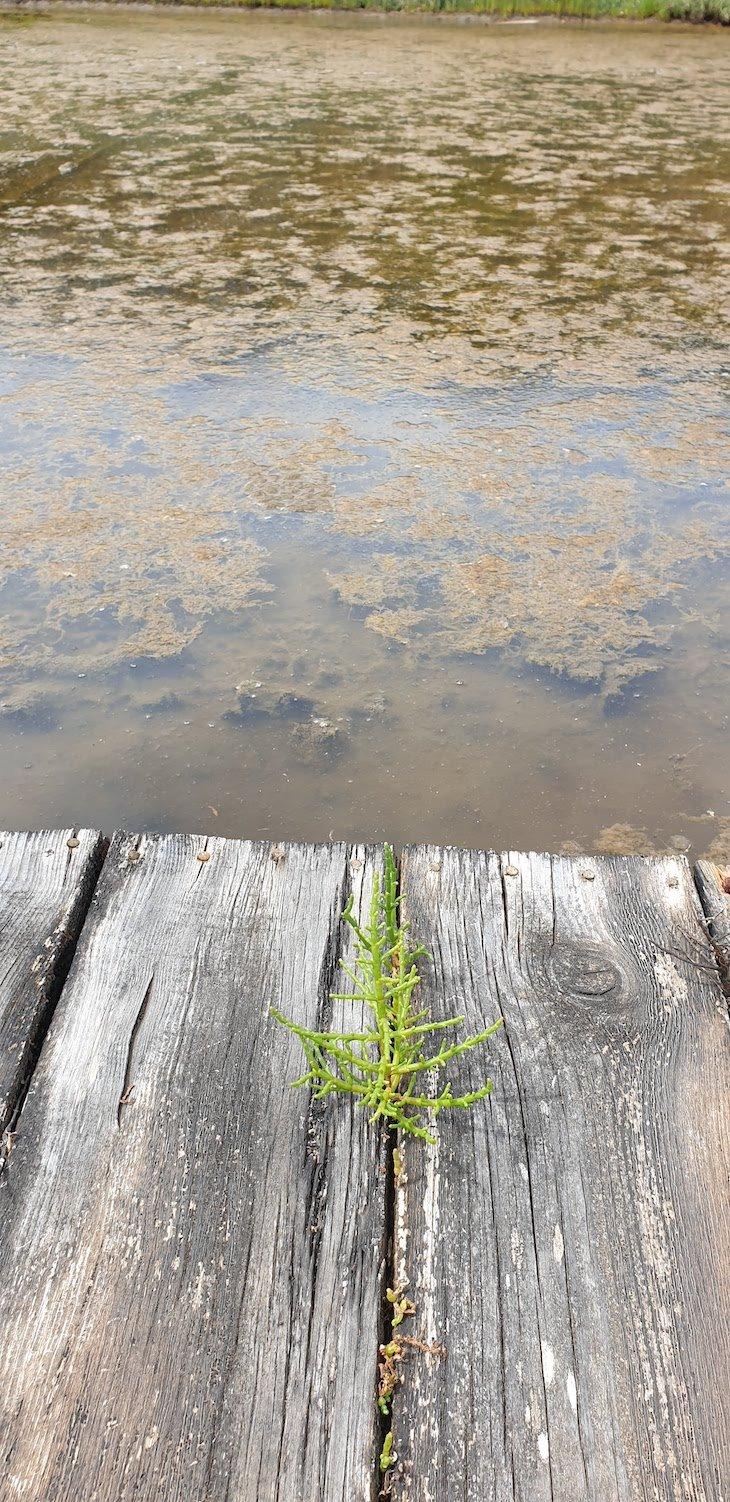 Salicornia nas salinas da Figueira da Foz © Viaje Comigo